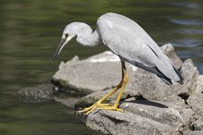 Free Heron Stock Images - 4671514