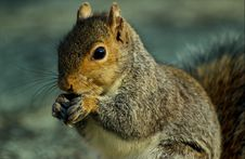Free Squirrel Royalty Free Stock Photography - 4673687