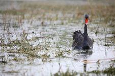Free Black Swan Stock Image - 4673691