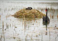 Free Black Swan Royalty Free Stock Photo - 4673735