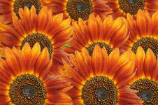 Free Sunflowers Background Stock Photos - 4673783