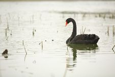 Free Black Swan Stock Images - 4673824