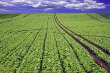 Free Planted Field Royalty Free Stock Photography - 4675217