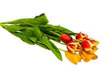 Free Tulips Stock Images - 4675414