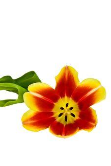 Free Tulip Stock Image - 4675471