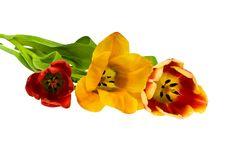 Free Tulips Royalty Free Stock Photos - 4675518