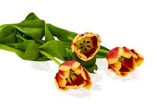 Free Tulips Royalty Free Stock Photography - 4675567