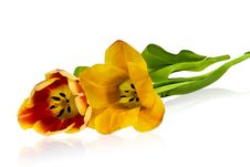 Free Tulips Royalty Free Stock Image - 4675576