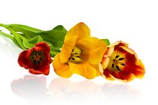 Free Tulips Stock Photo - 4675640