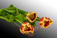 Free Tulips Royalty Free Stock Images - 4675809