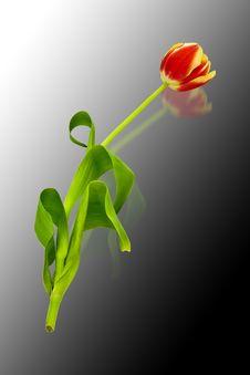 Free Tulip Royalty Free Stock Image - 4675816