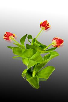 Free Tulips Royalty Free Stock Image - 4675846