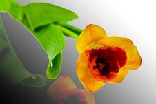 Free Tulip Royalty Free Stock Photos - 4675888