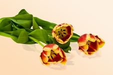 Free Tulips Royalty Free Stock Photography - 4675967