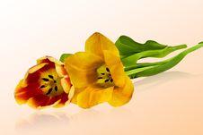 Free Tulips Stock Photos - 4675983