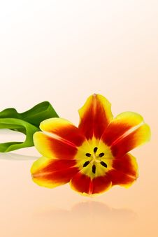Free Tulip Stock Images - 4675994
