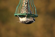 Free Downy Woodpecker Royalty Free Stock Photos - 4676028