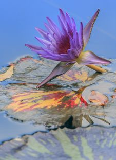 Free Water-lily (nymphaea Odorata) Royalty Free Stock Image - 4676036