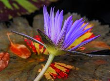 Free Water-lily (nymphaea Odorata) Stock Image - 4676121