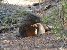 Free Komodo Dragon Royalty Free Stock Photography - 4676357