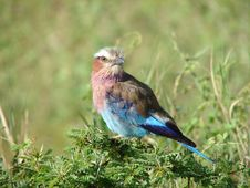 Free Lilac Breasted Roller Royalty Free Stock Image - 4676466