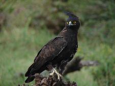 Free Long Crested Eagle Stock Image - 4676581