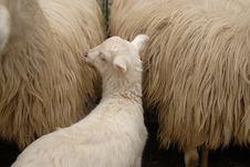 Lamb/sheep Stock Photography