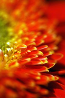 Free Red Daisy Stock Photo - 4677320