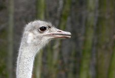Free Ostrich Royalty Free Stock Photos - 4677378