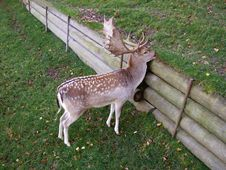 Free Young Deer Royalty Free Stock Photos - 4677388