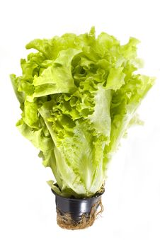 Free Fresh Lettuce In A Pot Royalty Free Stock Photos - 4677398