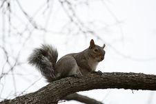 Free Squirrel Royalty Free Stock Photo - 4677835
