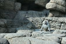 Free Baboon Royalty Free Stock Image - 4677856