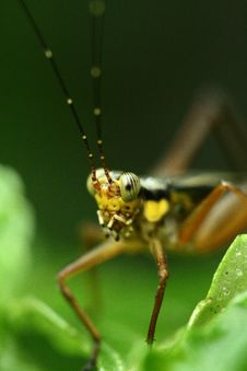 Free Grasshopper Stock Photo - 4679330