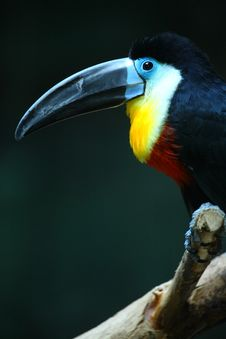 Free Toucan Stock Photo - 4679770