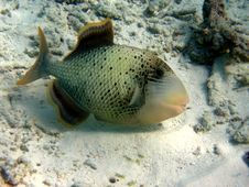 Yellowmargin Triggerfish Stock Photography