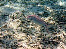 Free Fish : Dash-and-dot Goatfish Royalty Free Stock Photography - 4679827