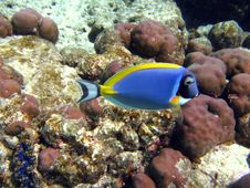 Fish : Powder Blue Tang Stock Photo