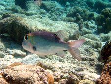 Free Fish : Humpnose Big-Eye Bream Royalty Free Stock Photo - 4679965