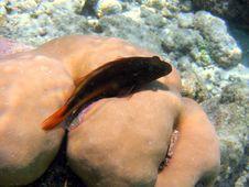 Free Fish : Blackside Hawkfish Royalty Free Stock Photography - 4679977