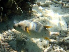 Fish : Blackspotted Puffer Royalty Free Stock Images