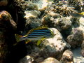 Free Fish : Oriental Sweetlips Royalty Free Stock Photography - 4680217
