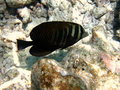 Free Sailfin Tang Royalty Free Stock Image - 4680516