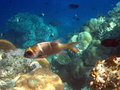 Free Fish : Humpnose Big-Eye Bream Royalty Free Stock Image - 4680546