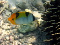 Free Fish : Indian Double-Saddle Butterfly Royalty Free Stock Photos - 4680728