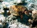 Free Hawksbill Turtle Stock Image - 4681151
