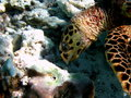 Free Hawksbill Turtle Detail Royalty Free Stock Photos - 4681208