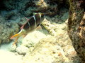 Free Maldivian Humpnose Big-Eye Bream Royalty Free Stock Photo - 4681325
