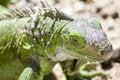 Free Young Iguana Royalty Free Stock Photos - 4682418