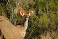 Free Kudu (Tragelaphus Strepsiceros) Royalty Free Stock Photo - 4684455